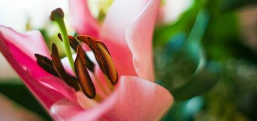 ruzova lilie